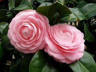 rosa-magnifica.jpg