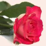 rosa linda 2mensagens-6